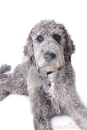 Danoodle (great Dane and standard poodle mix) Too cute and no shed!