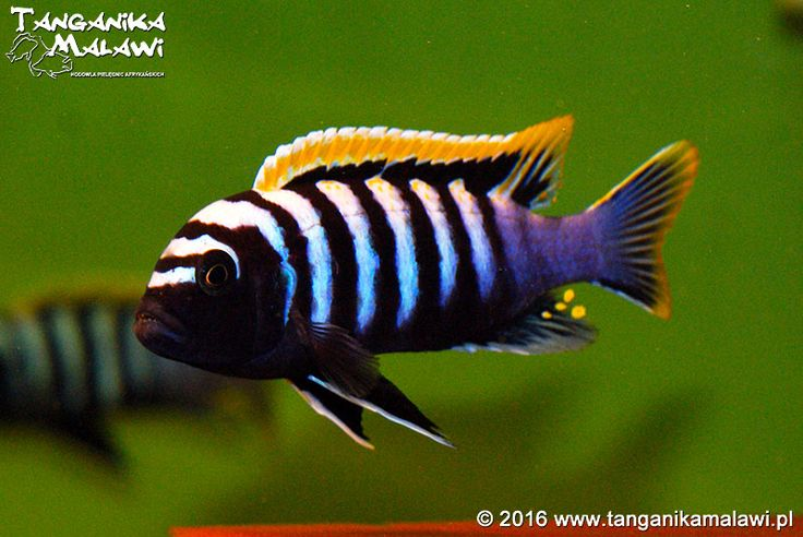 Cynotilapia Zebroides Likoma Red Top Tropical Freshwater Fish Lake Malawi Cichlids African Cichlids