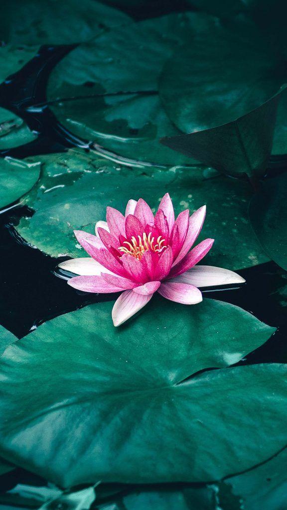 Lotus Flower Leaves Lake 4k Ultra Hd Mobile Wallpaper Lotus Flower Wallpaper Lotus Flower Art Lotus Wallpaper Beautiful lotus wallpaper hd