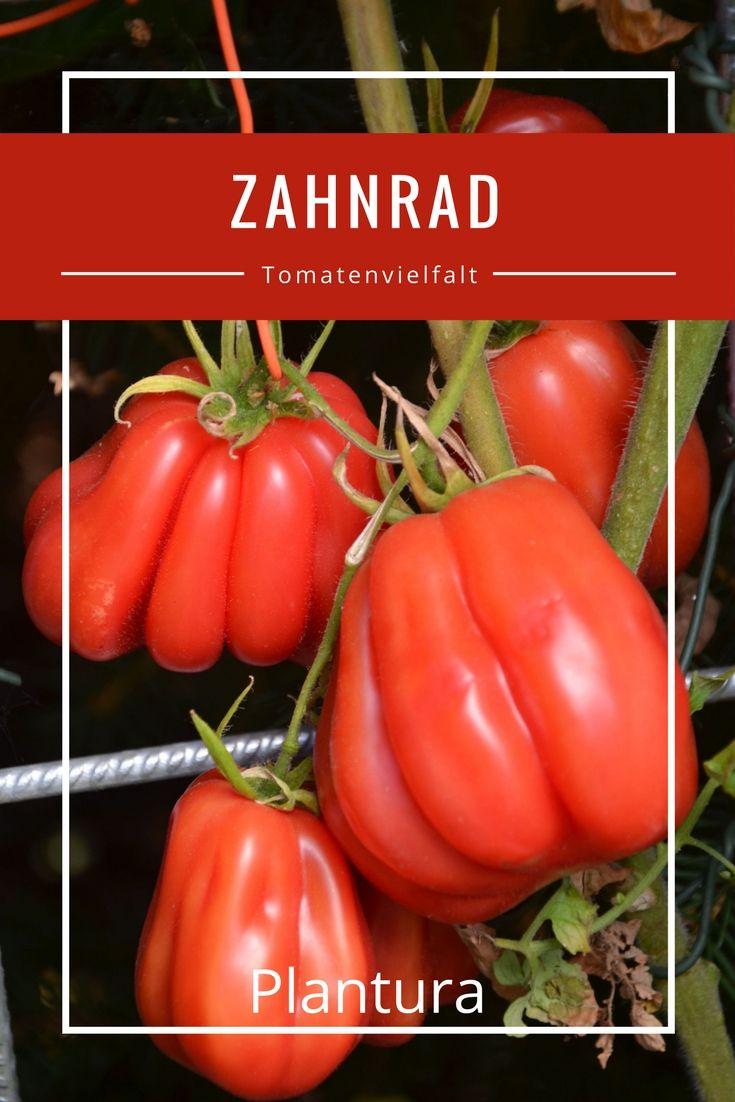Die Sorte Zahnrad besticht durch ihre großen roten und stark gerippten Früchte.
