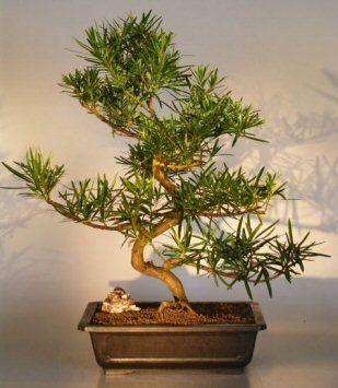 Podocarpus Bonsai Tree(podocarpus macrophyllus)