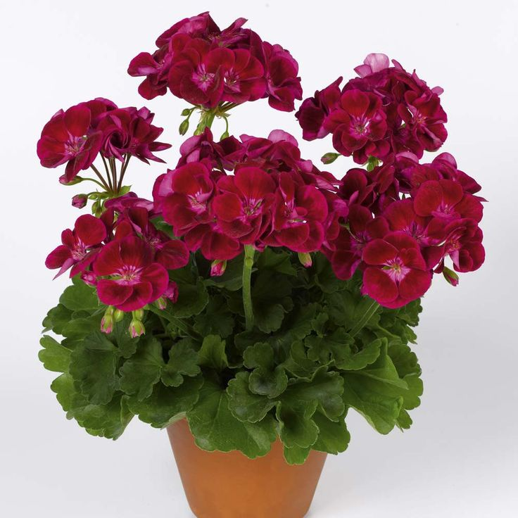 best geraniums images on, Natural flower