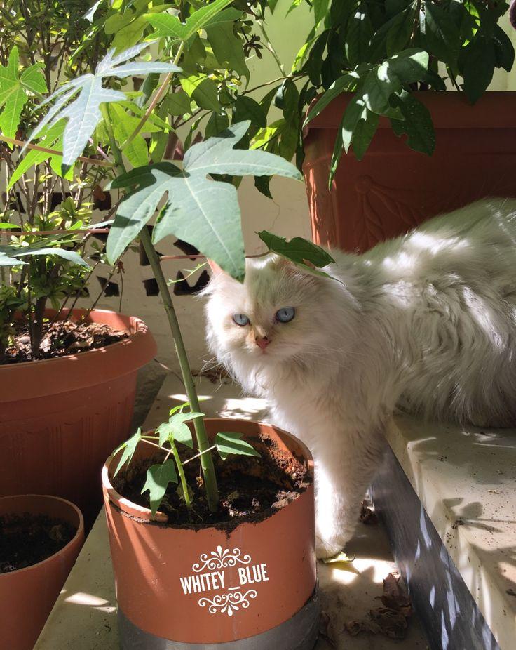 Little point cream ragdoll  #ragdoll #playingcat #cät #birmancat #ragamuffincatsofinstagram  #raggamuffincat #ragdollcat #catpaws #ragdollsofinstagram #ragamuffincat #կատու #котка #kedi #گربه #rescuedkitty #cateating #猫 #pusa #katze #γάτα #gato #pişik #popoki #kucing #बिल्ली #felinecat  #felinemeow #kaķis #بزونه #고양이