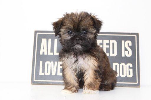 Shorkie Tzu puppy for sale in NAPLES, FL. ADN-46251 on PuppyFinder.com Gender: Female. Age: 10 Weeks Old