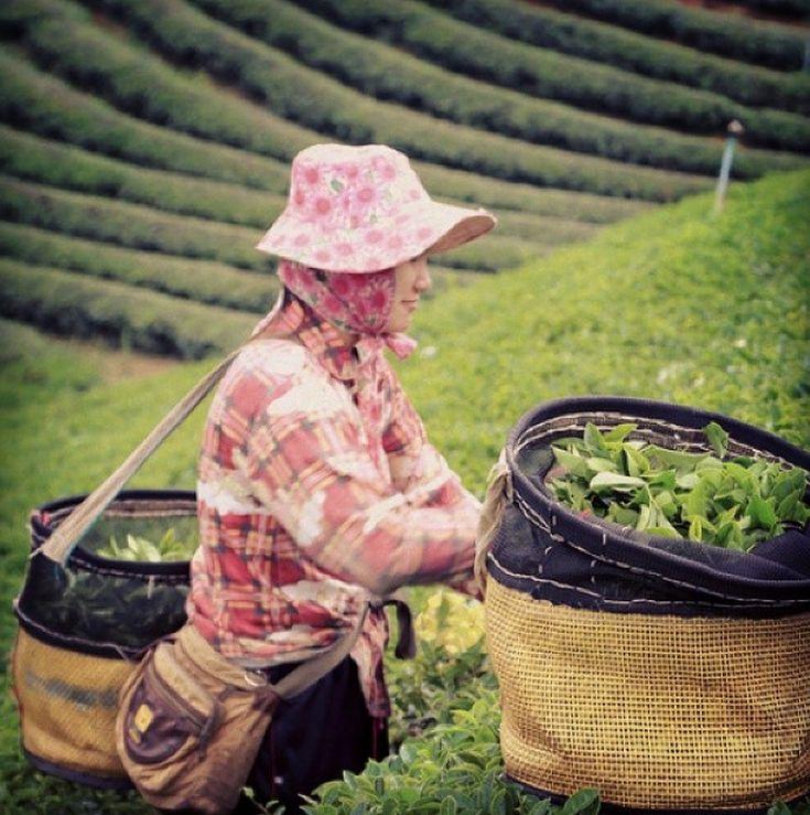 #jeuditourisme A la découverte de la cueillette du thé ! pic.twitter.com/B94eKyHXaZ