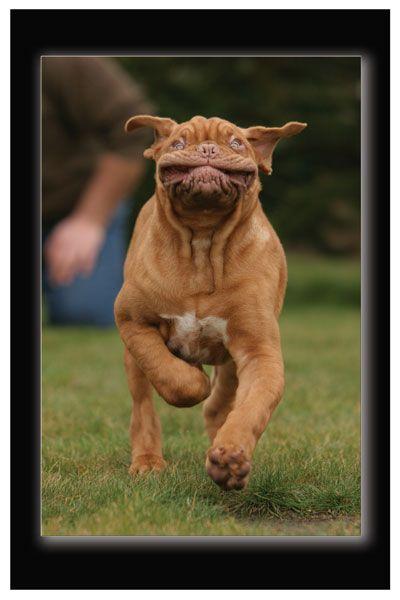 Puppy Bordeaux dog