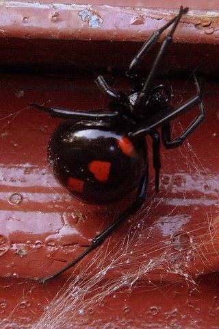 The Black Widdow Spider: A reason to wear gloves.  Yes, that is a Black Widow spider, no it's not photo shopped. Usually the red marking is shaped like an hour glass - but this one being extremely large and fat has a heart shaped marking instead.