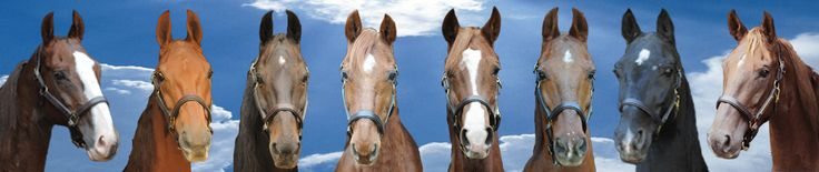 AMERICAN HORSE ADOPTION operated by Saddlebred Rescue Inc. a 501(c)(3) Horse Rescue