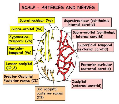 Instant Anatomy - Head and Neck - Vessels - Arteries - Scalp