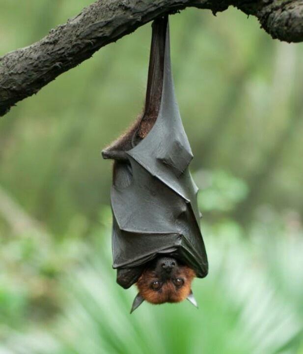 83 best images about fruit bats on pinterest