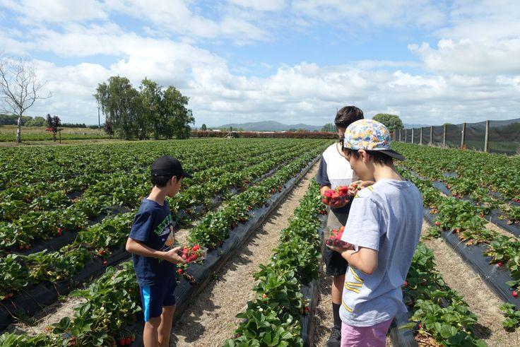 Strawberries picking at Whakatane
