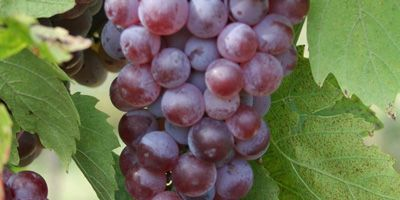Molinara: Used in small quantities it is used in the production of Valpolicella wine.