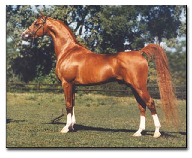 Hucklebey Berry+/  one of my all time favorite Arabian stallions. I had the pleasure of knowing this horse  & watched him show many times. He was truly magnificent!!!