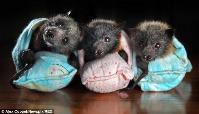 The babies will be cared for at the special flying fox nursery until they are old enough and strong enough to return to their colony