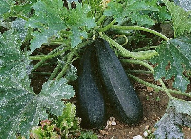 planter la courgette forts planters and articles. Black Bedroom Furniture Sets. Home Design Ideas