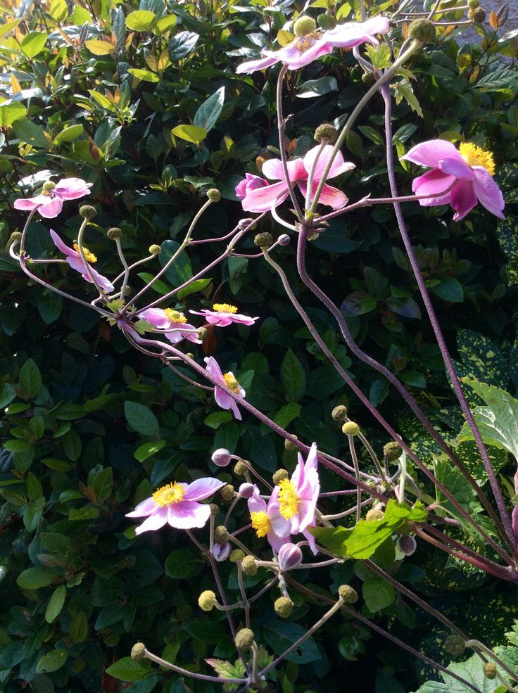 Japanese Anemone. September.             Glyn Overton.