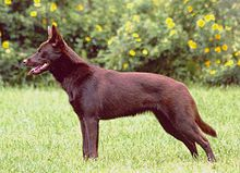 The Kelpie is an Australian sheep dog successful at mustering and droving with little or no command guidance. They are medium-sized dogs and come in a variety of colours