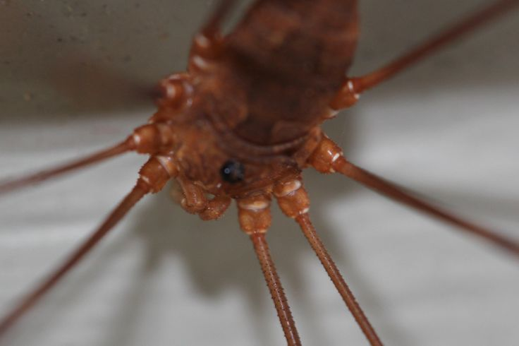 macro-would you believe that this is a granddaddy long leg