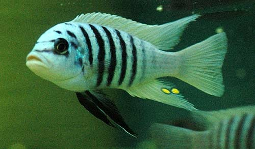 http://tylersteele.hubpages.com/hub/Lake-Malawi-Cichlids-An-Introduction-to-Keeping-African-Cichlids-of-Lake-Malawi