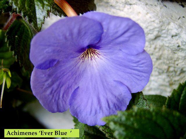 Achimenes ' Ever Blue ' | by Serge Saliba