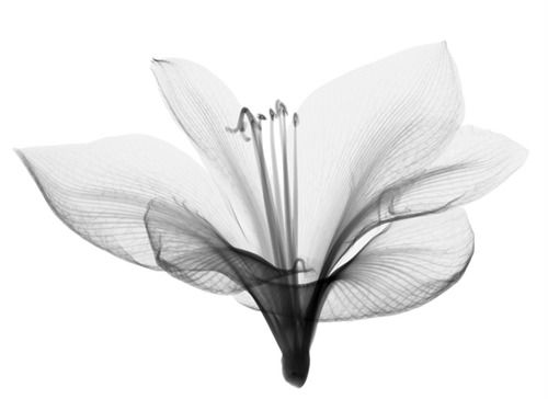 x-ray flower photograph by Nick Veasey
