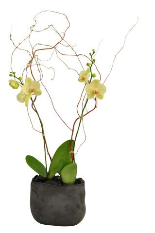 Yellow Twin Orchids