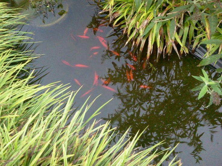 goud vissen in de vijver het worden er steeds meer :-)