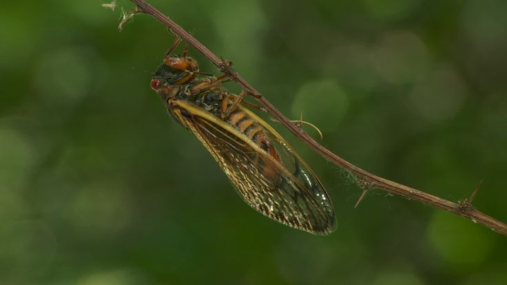 Brood II 17-year periodical cicadas (Magicicada septendecim) 10 - Stock Footage | by cholmesphoto - An adult female 17-year periodical cicada (Magicicada septendecim) clings to a vegetation after emerging from its 17 year underground nymphal stage. Brood II 17-year periodical cicadas emerged to breed in the spring of 2013 after last being seen in 1996.