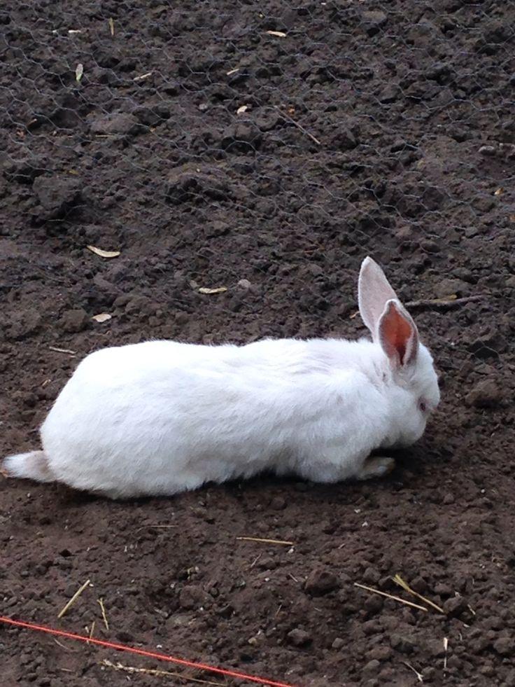 Stewie helping dig in the garden  NZ white rabbit