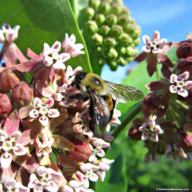 Common milkweed with images asclepias milkweed