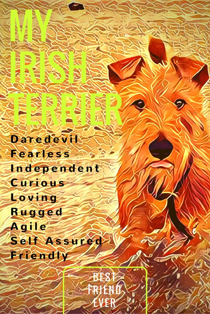 Irish Terriers ☘
