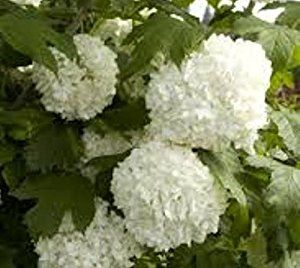 Amazon.com : Eastern Snowball Bush (Viburnum Opulus Sterile) - Live Plant - Quart Pot : Patio, Lawn & Garden