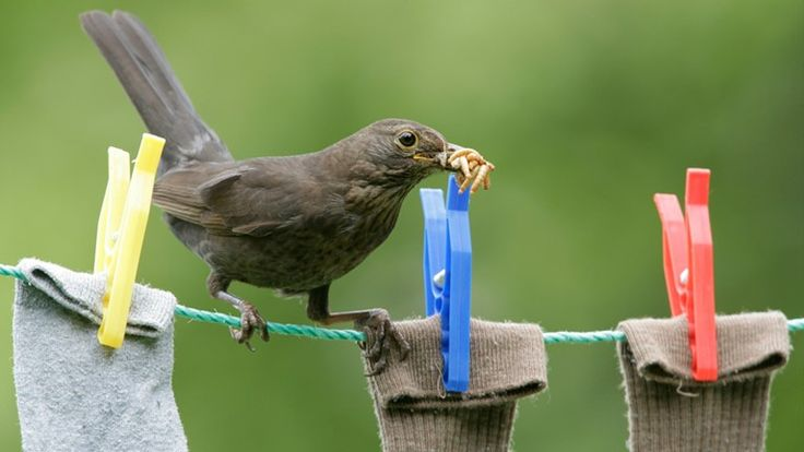 RSPB's guide for breeding mealworms