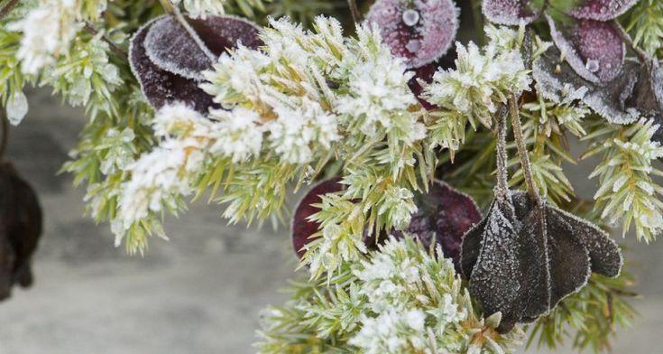 Redd blomsterpottene fra frosten