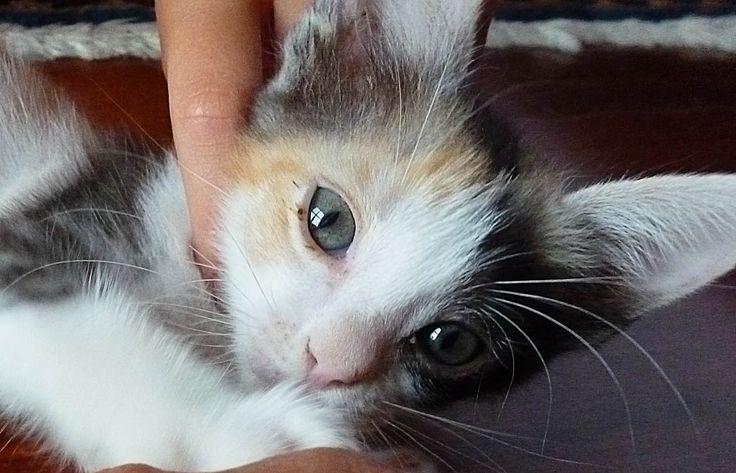 little cat Oplà