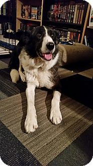 Frederick, MD - Border Collie Mix. Meet Aziza, a dog for adoption. http://www.adoptapet.com/pet/18228287-frederick-maryland-border-collie-mix