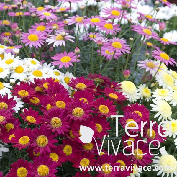 Les Anthémis sont des plantes annuelles à la floraison abondante en forme de marguerite, peu capricieuse avec un feuillage étonnant vert-bleuté, elle peuvent être à fleurs doubles ou simples. Idéale en massifs, bordures au jardin d'ornement, elles sont aussi adapté à la culture en pots pour orner vos balcons et terrasses du printemps à l'automne. Découvrez les nuances de couleur chez les Anthémis à fleurs simples, doubles, rose, blanc, jaunes...
