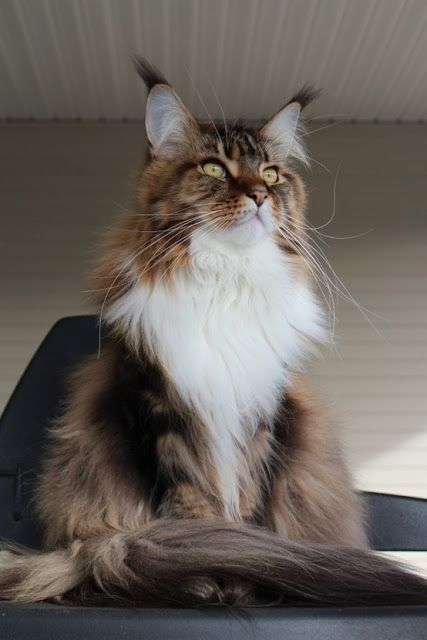 Classic White mixed Brown Tabby ..... Appearance and Coat colors in Maine Coons - Annie Many http://www.mainecoonguide.com/male-vs-female-maine-coons/