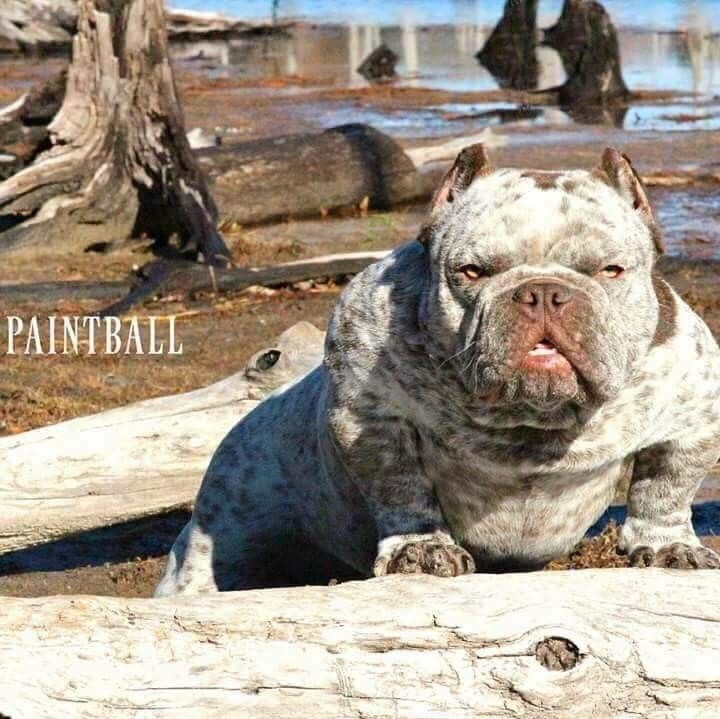 Pin By El Pato On American Bully 2 Bully Dog Miss My Dog Big Dogs