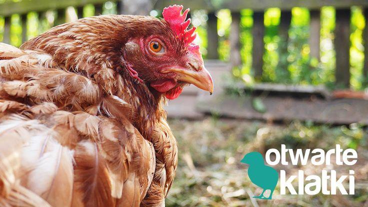 Wiosną 2014 roku aktywiści Stowarzyszenia Otwarte Klatki uratowali trzy kury z fermy przemysłowej w akcji open rescue.   #openrescue #vegans #animalrights