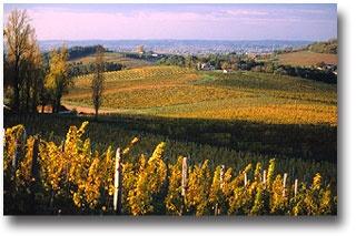 Les vignes de Chateau Bélingard