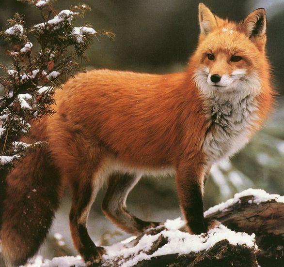 Red Fox by Darrell Gulin