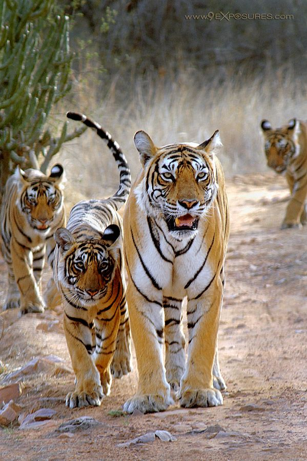 very regal tigers...which surprisingly enough are solitary creatures in the wild...this leads me to believe that this image was taken on a preserve of some kind. REGARDLESS beautiful animals and a b