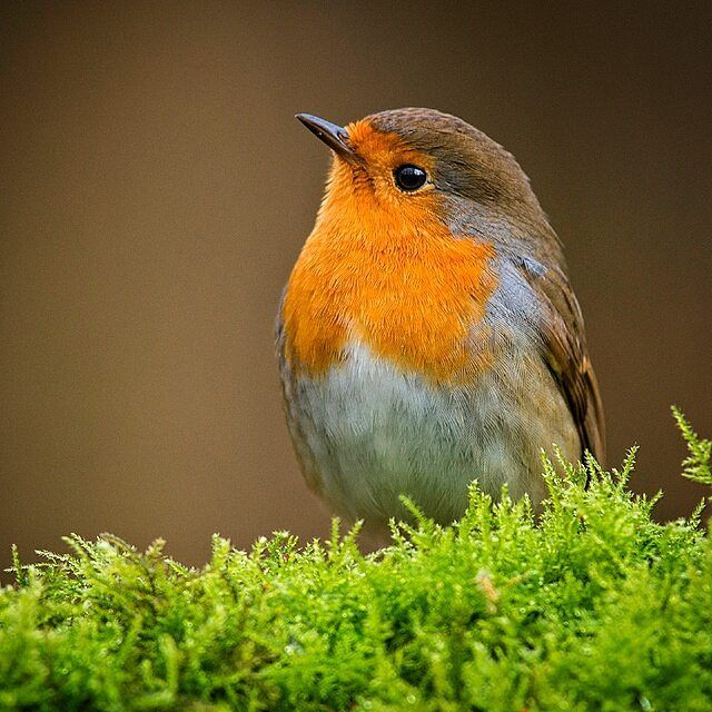 """1,459 Likes, 78 Comments - Ronald Beuwer (@ronaldbeuwer) on Instagram: """"Little red Robin  European Robin."""""""