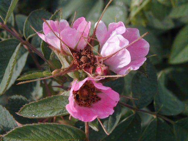 Rosa villosa (Syn.Rosa pomifera )