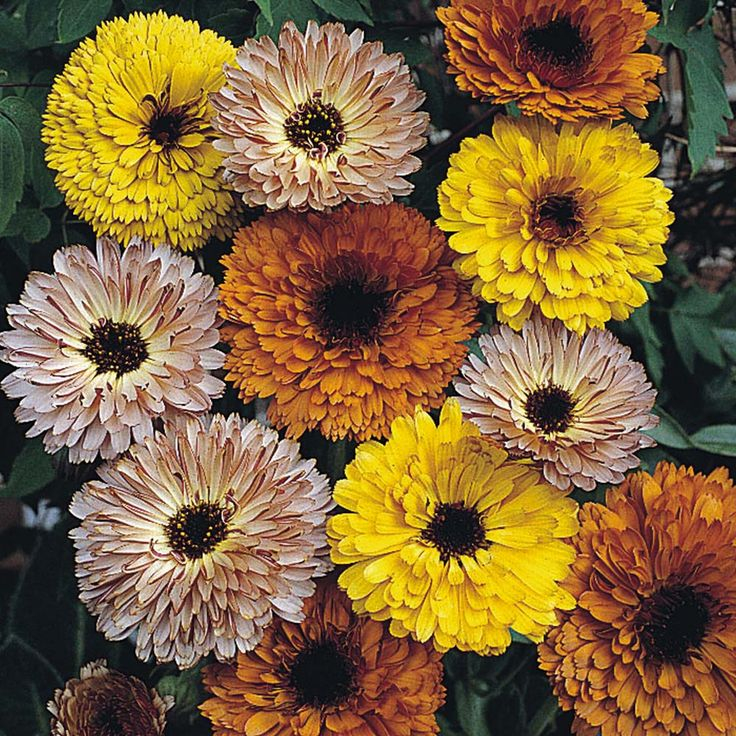 Calendula officinalis touch of red mixed hardy annual