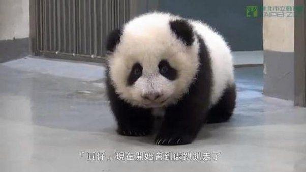 VIDEO: Un panda bebé que no tiene ganas de irse a dormir   Minutouno.com