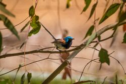 FAR-0007217 © WestPix A tiny blue wren perched on a branch. Picture: Farhad Mobarra