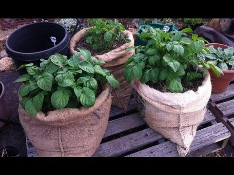 Come visit me on Facebook for more potato growing updates and garden experiments!   http://www.Facebook.com/HomeGrownFun  Recycled coffee sacks provide a natural grow bag for planting potatoes above ground at home, on your balcony, patio or in the backyard. They give the potatoes awesome air flow and drainage. They last one season and can be compo...