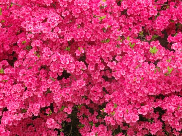 my flowering bushes